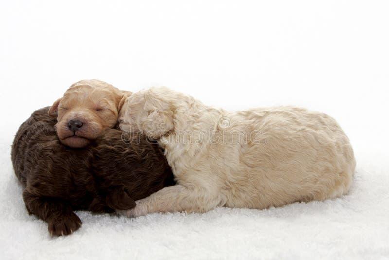 Pups royaltyfri bild