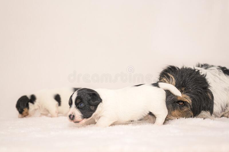 Pups 3 weeks old.  Purebred newborn very tiny Jack Russell Terrier babies with her mother. Young puppy dogs are cleaned by their royalty free stock images