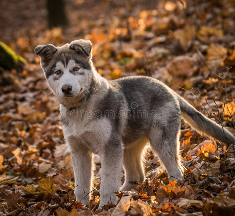 Pupy Alaskiego Malamute Canis lupus familiaris męscy zdjęcia stock