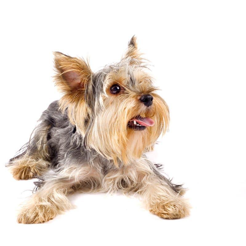 Pupyy Yorkshire Terrier lizenzfreies stockfoto