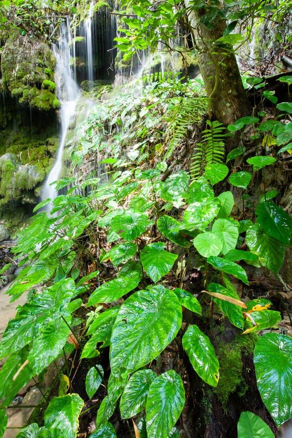 Pura cascada tropical con exuberante taro y plantas tropicales en temporada lluviosa fotografía de archivo