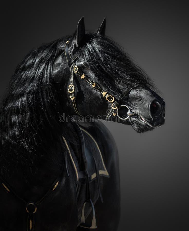 Pura Spanish Horse im portugiesischen barocken Zaum lizenzfreie stockbilder