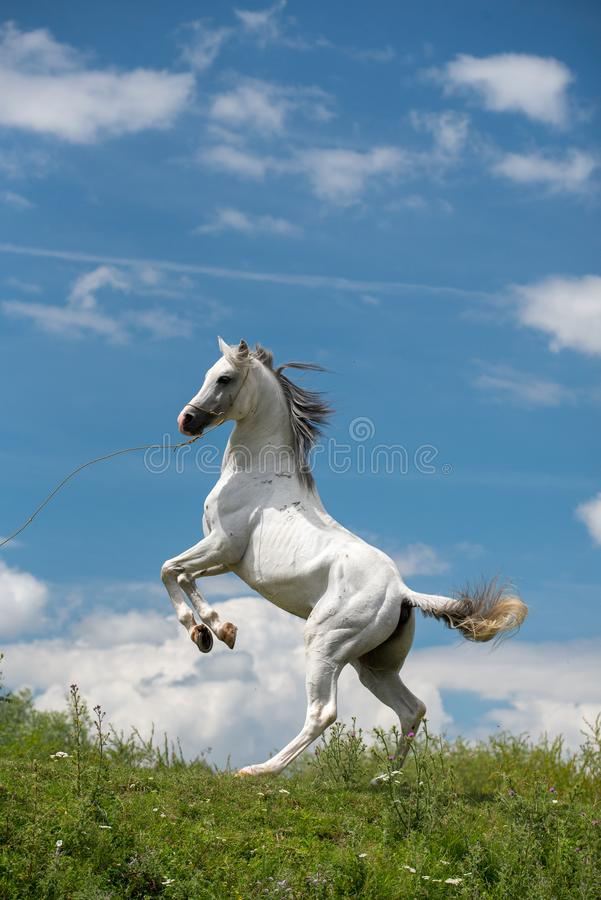 Pure Arabian white horse on training day vertical shoot. Pure Arabian white horse on training day at the countryside farm stock photos