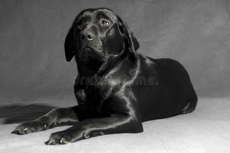 Pure black labador stock photo