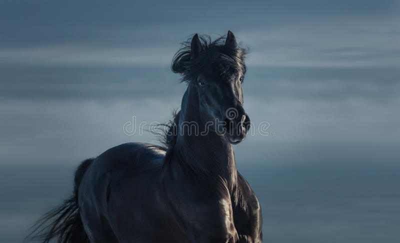 Pure Bred Spanish black stallion - portrait in motion royalty free stock images