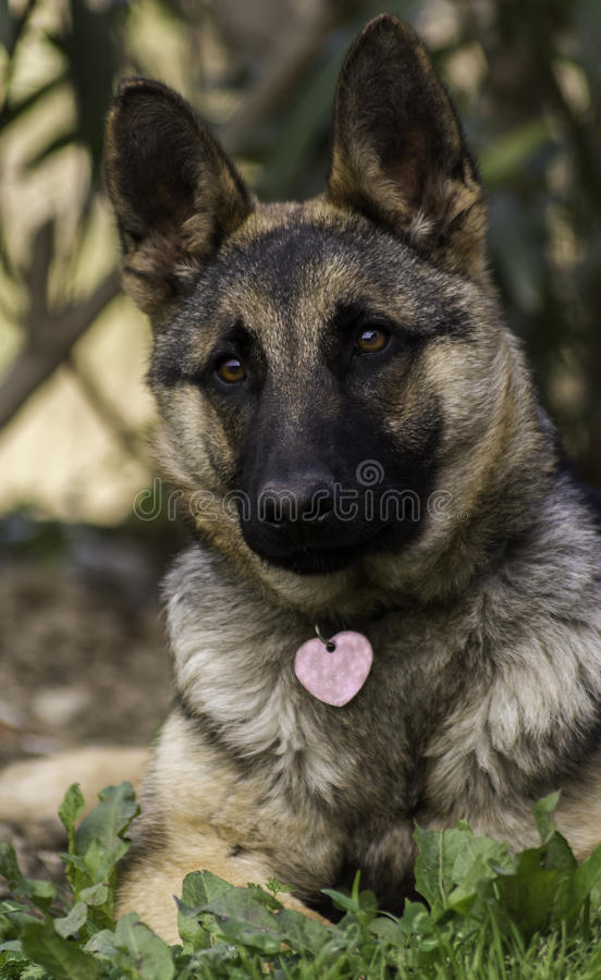 Pure breed German Shepherd puppy girl. Corfu Greece Europe royalty free stock photography