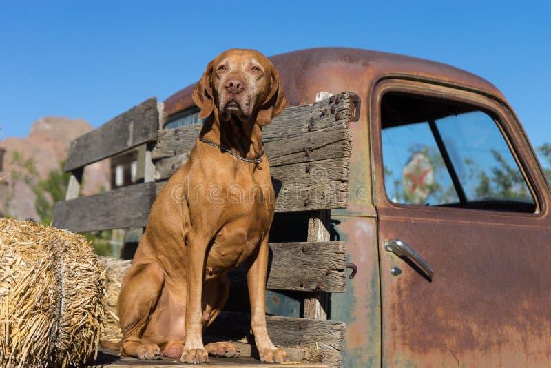Pure breed vizsla dog sitting on vintage truck wreck. Dog sitting on the flat bed of a vintage truck stock image
