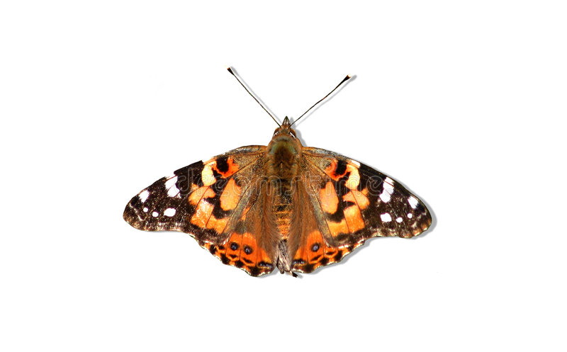 Download Pure Butterfly stock photo. Image of orange, butterfly - 168396