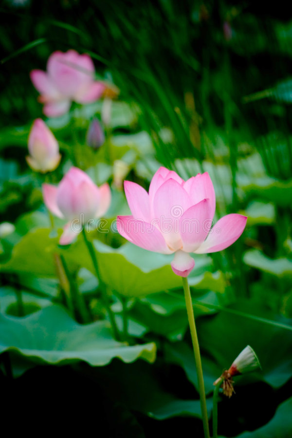 Download Pure and clean lotus stock image. Image of bright, leaf - 4588885