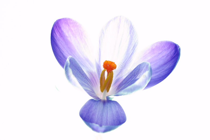 Pure crocus flower royalty free stock photos