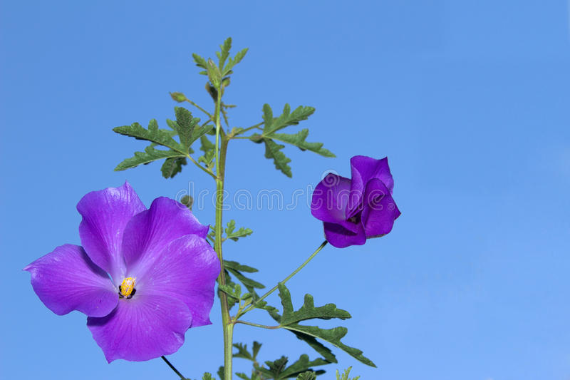 Download Pure Delight Lilac Hibiscus Flower Stock Photo - Image of pure, santa: 55121036