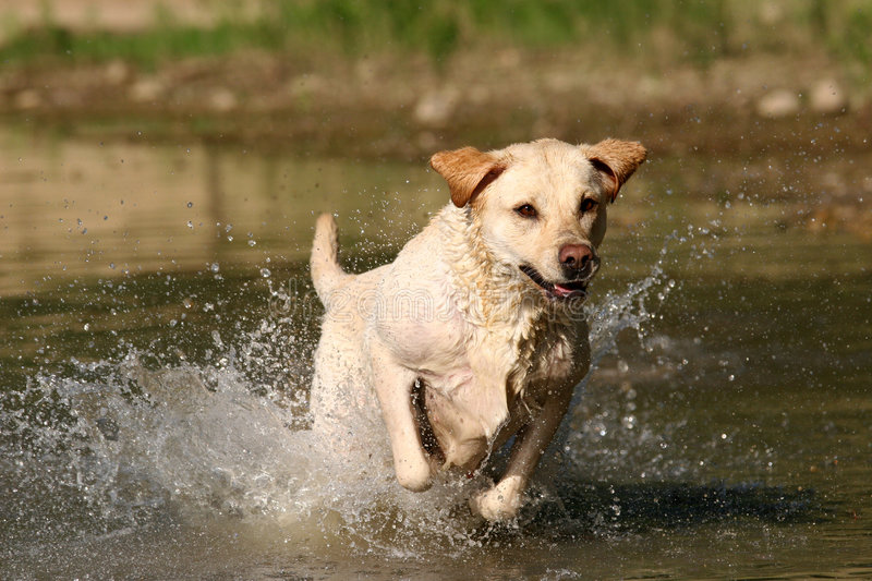 Download Pure Joy I stock photo. Image of golden, jumping, splash - 155188
