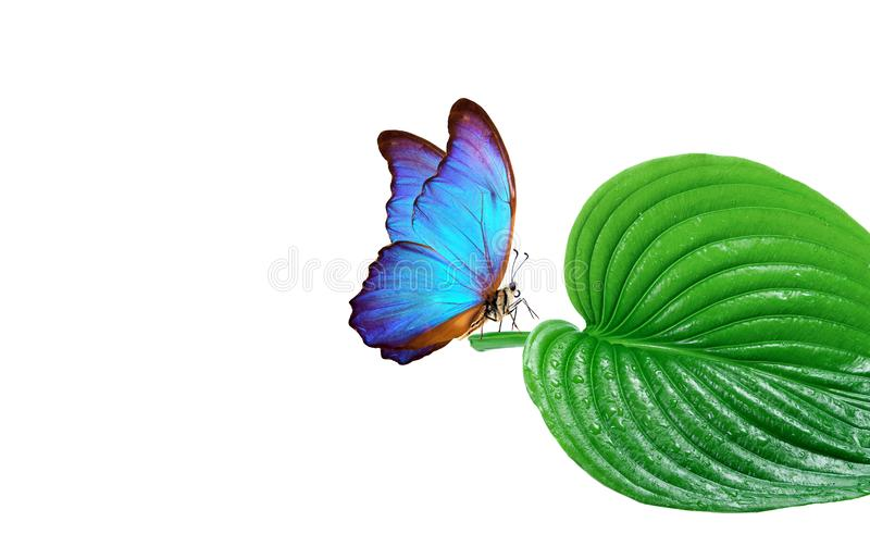 Pure nature concept. environmental protection poster. blue morpho butterfly on a green leaf. green leaf in dew drops isolated on w royalty free stock photography