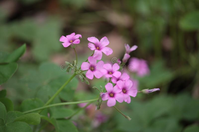 Pure and tiny Pink flowers in Spring royalty free stock photo