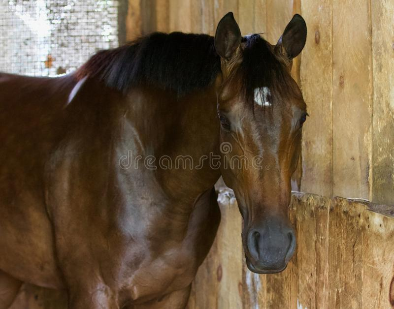 Pure Rhythm by Hard Spun. A beautiful two year old bay filly with a lovely disposition posing for a morning photo. Life on the backstretch offers many peaceful stock images