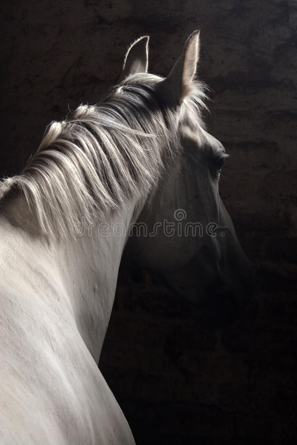 Pure spanish horse Andalusian stallion (PRE) royalty free stock photos