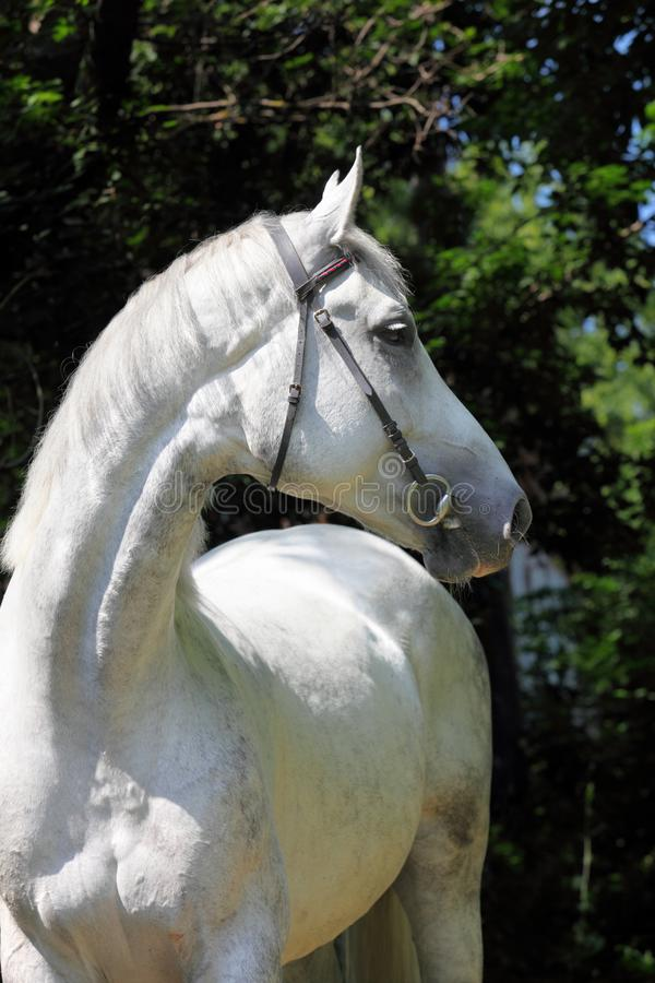 Pure Spanish Horse or PRE, portrait against dark background. Pure Spanish Horse or PRE, portrait against dark green woods background stock image