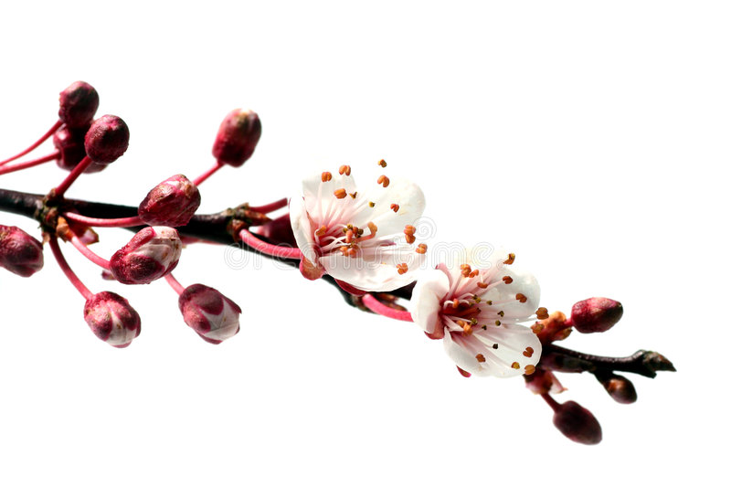 Download Pure spring stock photo. Image of prunus, flowers, fruit - 2707034