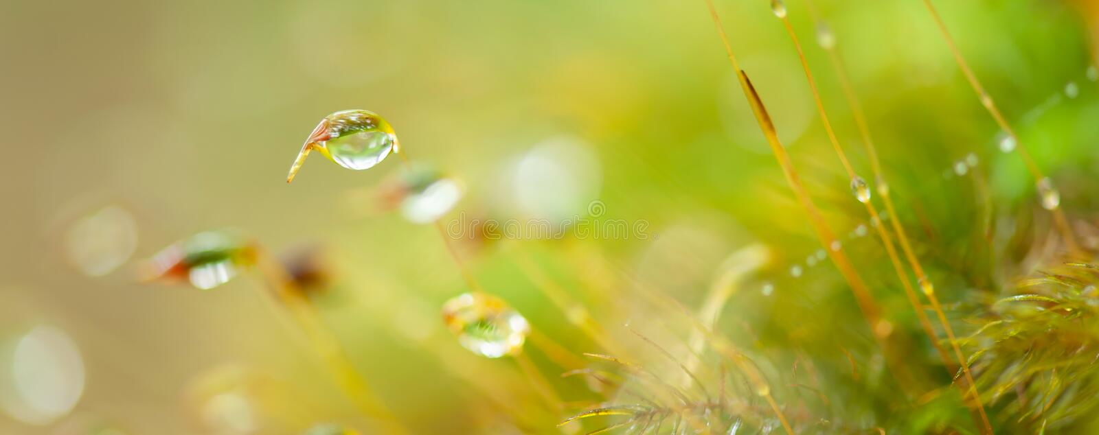 Pure water drops in moss and tropical plants, bokeh and blurred natural green backgrounds. Transparent and bright rain droplet royalty free stock photography