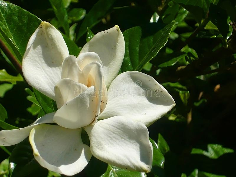 Pure white flower of magnolia. Pure white flower of magnolia in the summer garden. Sunny day stock image