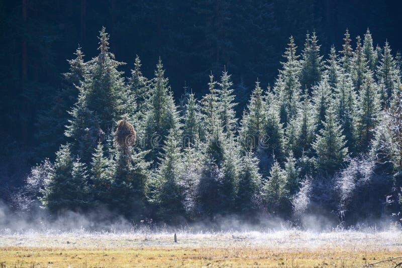 Pure white mist flow under the pines,Jiuzhaigou, Sichuan, China royalty free stock photography