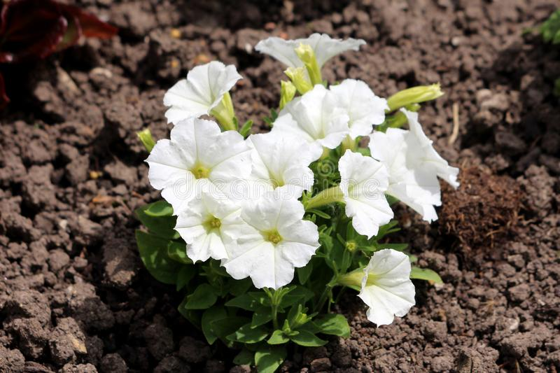 Pure white Petunia flowers densely planted in small bush surrounded with light green leaves and dry soil in local urban garden. On warm sunny spring day stock photo