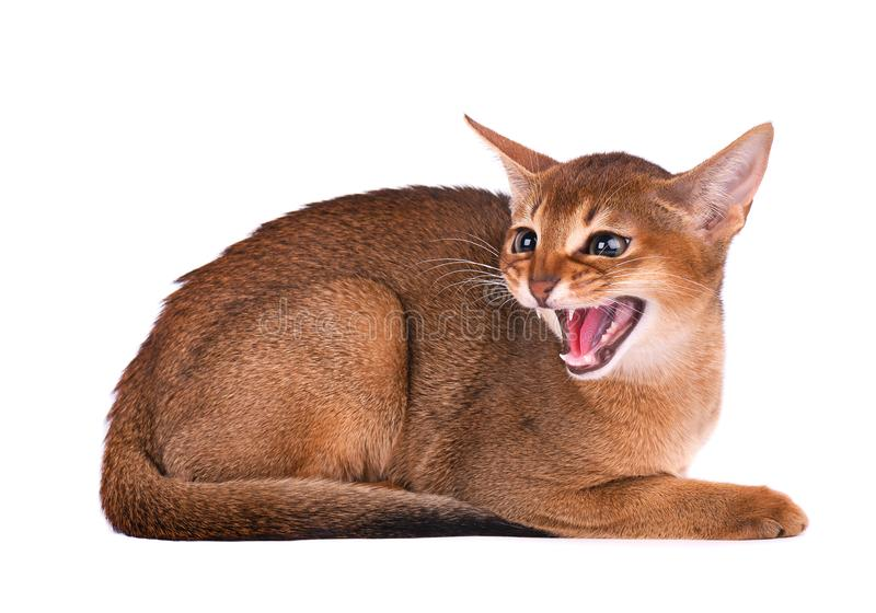Purebred abyssinian young cat isolated on white isolated on white background. Angry kitten hisses royalty free stock photos