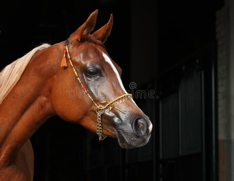 Purebred Arabian Horse, portrait of a bay mare. With jewelry bridle in dark background stock images