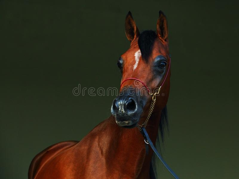 Purebred Arabian Horse, portrait of a bay stallion. With jewelry bridle in dark background royalty free stock image