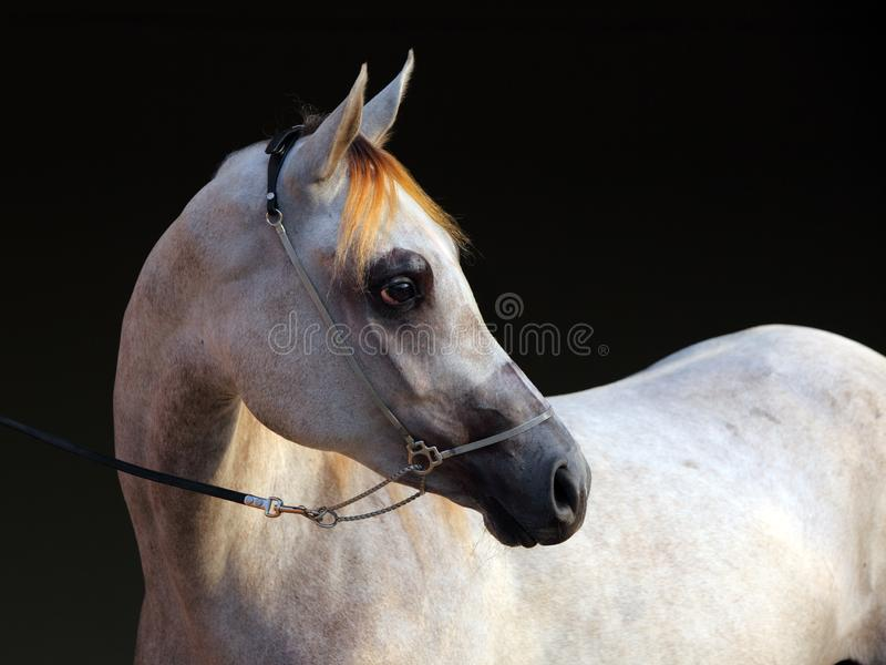 Purebred Arabian Horse, portrait of a dapple gray mare royalty free stock photography