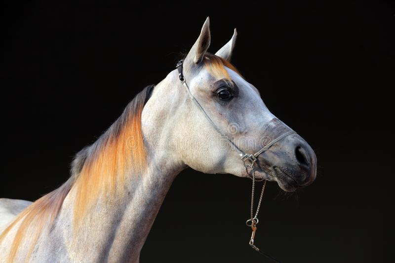 Purebred Arabian Horse, portrait of a dapple gray mare. With jewelry bridle in dark background stock photography