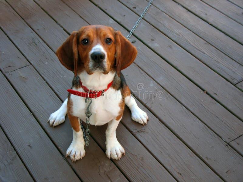 Purebred beagle stock photo