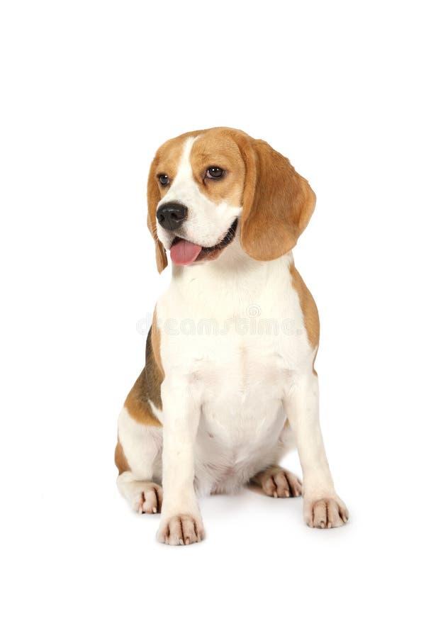 Purebred Beagle pies odizolowywający na białym tle zdjęcia stock