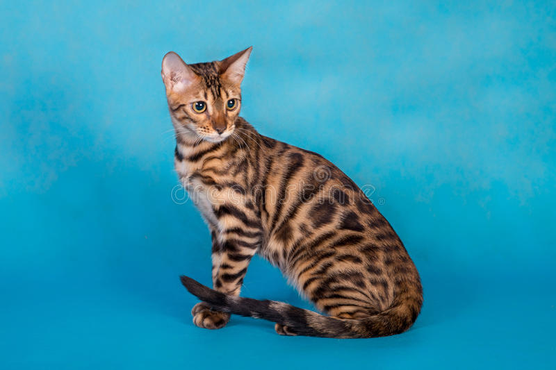 Purebred Bengal cat stock images