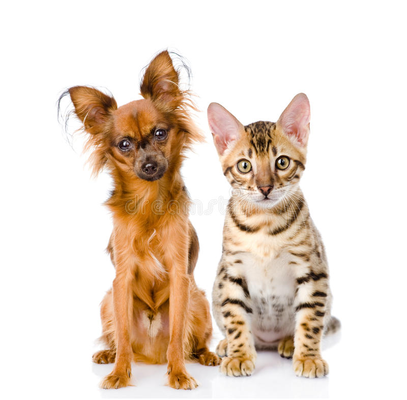 Purebred bengal kitten and Russian toy terrier. on white stock photo