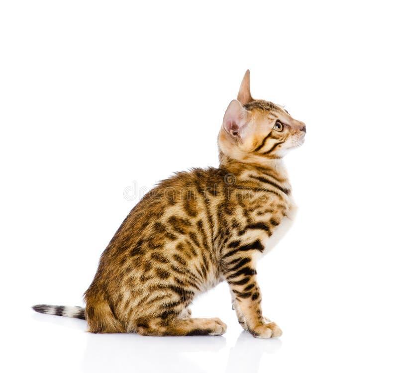 Purebred Bengal kota przyglądający up pojedynczy białe tło fotografia royalty free