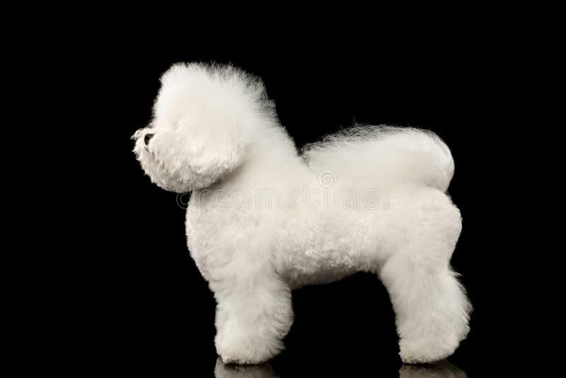 Purebred Bichon Frise psa biała pozycja, Przyglądający up odizolowywający czerń fotografia stock