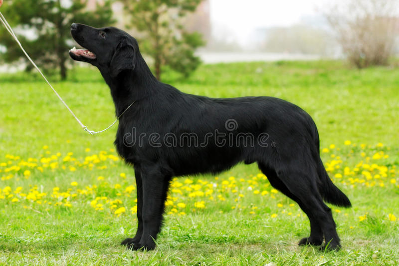 Purebred black dog flat-coated Retriever standing in the show po. Sition, stretched, out summer on nature stock photography