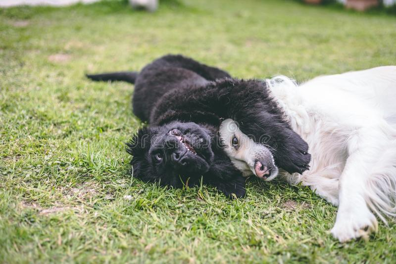 Purebred black newfoundland puppy playing with a white golden retriever adult dog stock photography