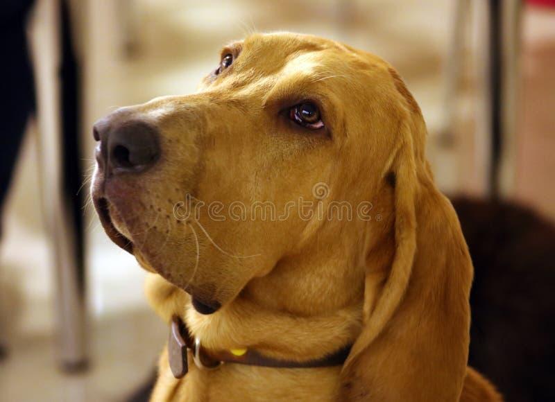 Purebred bloodhound 8 szczeniaka z uroczymi oczami starzy miesiące zdjęcie royalty free