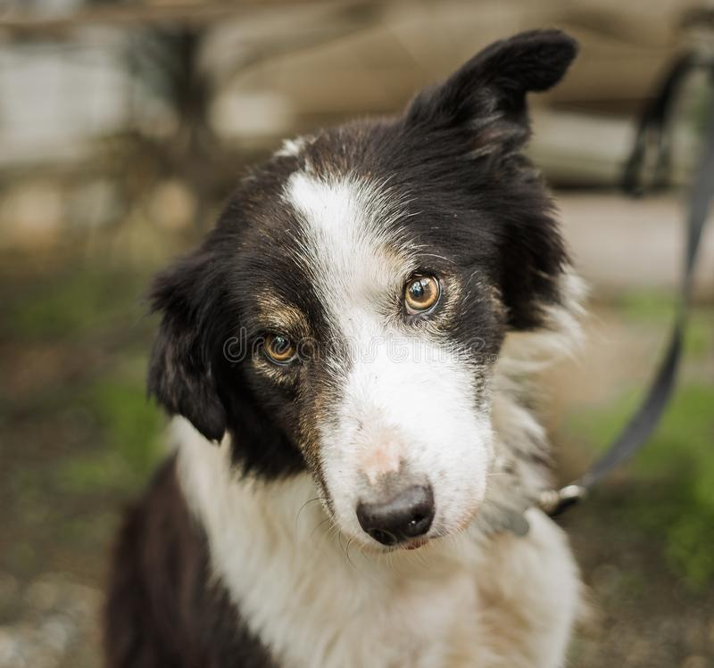 Purebred border collie dog stock images