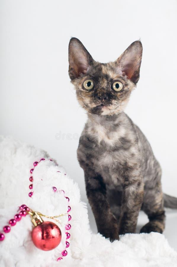 Purebred devon rex kitten royalty free stock photo