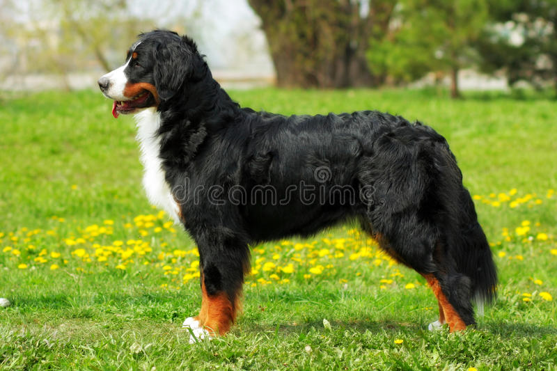 Purebred dog Bernese mountain dog standing in show position in t. He summer outdoors, side view at full height stock photography