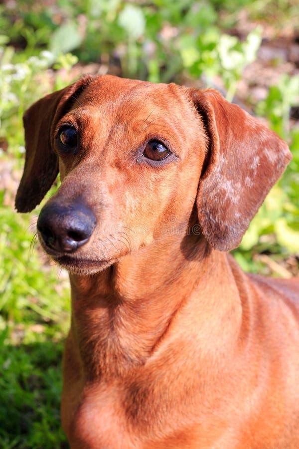 purebred dog dachshund a hunting breed dog german dachshund stock