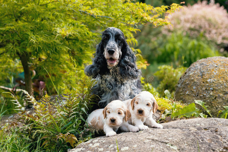 Purebred English Cocker Spaniel with puppy royalty free stock photography