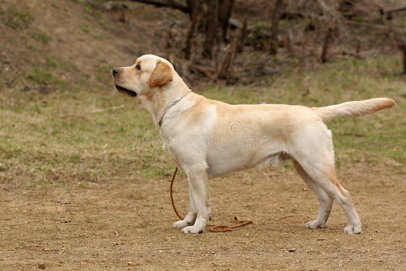 Labrador Dog Videos Free Download