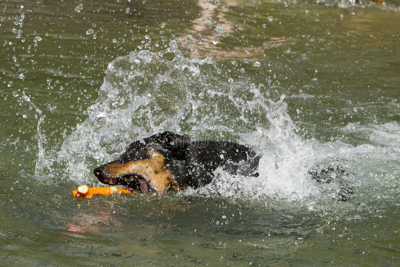 Download Purebred German Pinscher Fetching Toy In A Lake Stock Image - Image: 34166315
