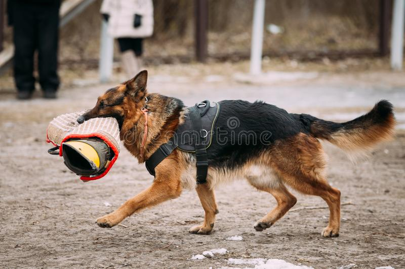 Purebred German Shepherd Young Dog Or Alsatian Wolf Dog. Attack. Training Of Purebred German Shepherd Young Dog Or Alsatian Wolf Dog Walk With Special Sleeve royalty free stock photography