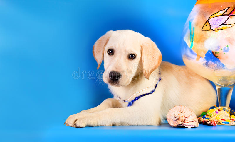 Purebred golden retriever dog on blue background. Marine theme.  royalty free stock image