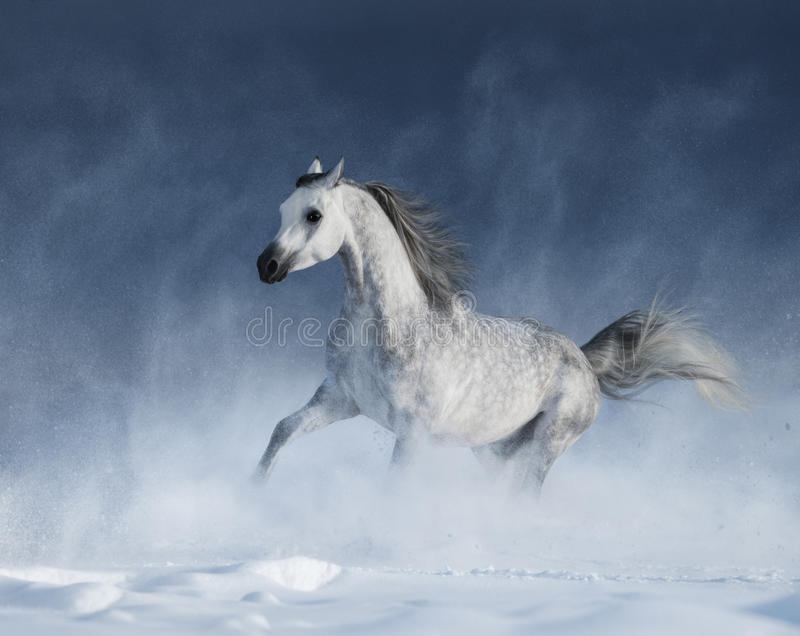Purebred grey arabian horse galloping during a blizzard royalty free stock image